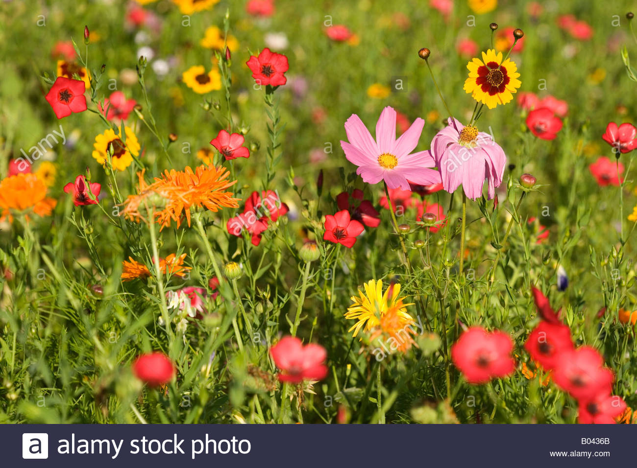 Colourful Summer Flower Mixture With Garden Cosmos Tagetes.