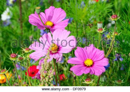 Cosmos Flowering Stock Photos & Cosmos Flowering Stock Images.