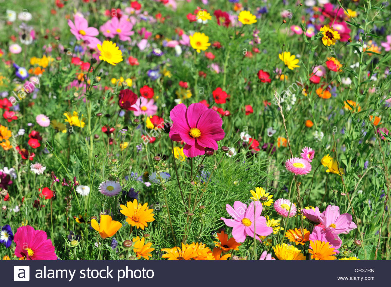 Flower Meadow With Garden Cosmos Or Mexican Asters (cosmea Stock.