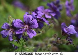Cosmea bipinnata Stock Photo Images. 10 cosmea bipinnata royalty.