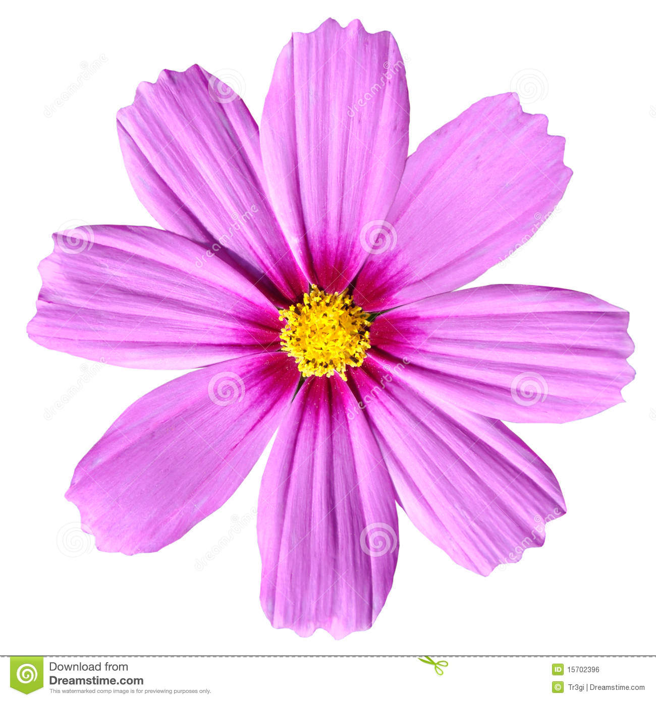 Pink Cosmea Rose. Beautiful Cosmos Flower Isolated Royalty Free.