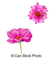 Cosmea Clip Art and Stock Illustrations. 15 Cosmea EPS.