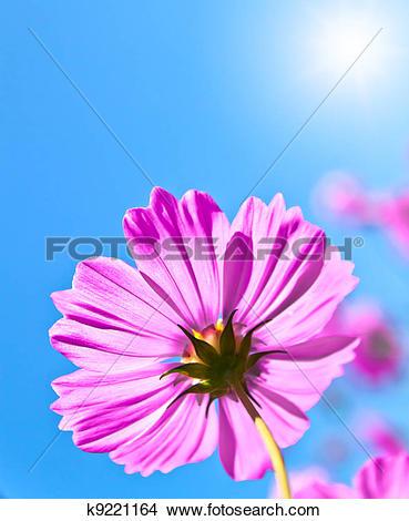 Stock Photo of Cosmea flowers k9221164.