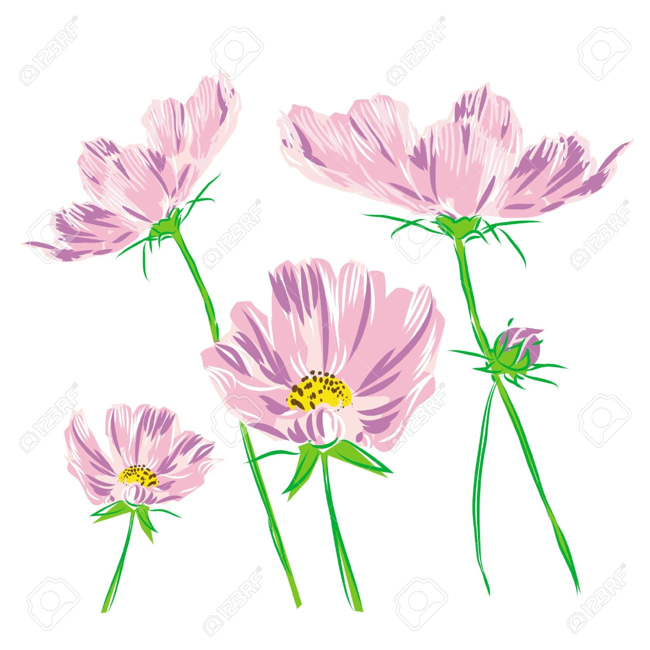 Bouquet Flower Cosmos Bipinnatus Isolated On White Background.