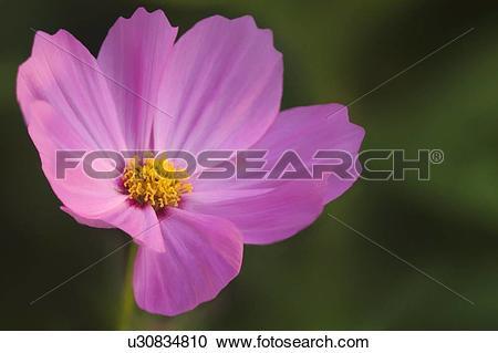 Stock Photography of Mexican aster (Cosmos bipinnatus) u30834810.