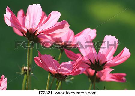 Stock Photography of Garden Cosmos, Mexican Aster (Cosmos.