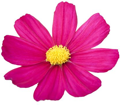 Cosmos flower clipart.