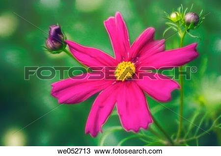 Stock Photo of Cosmos flowers. Cosmos bipinnatus. June 2006.