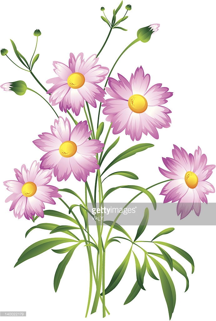 Cosmos Bipinnatus Flower Vector Art.
