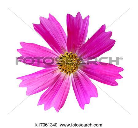 Stock Photography of Pink Cosmos Bipinnatus k17061340.