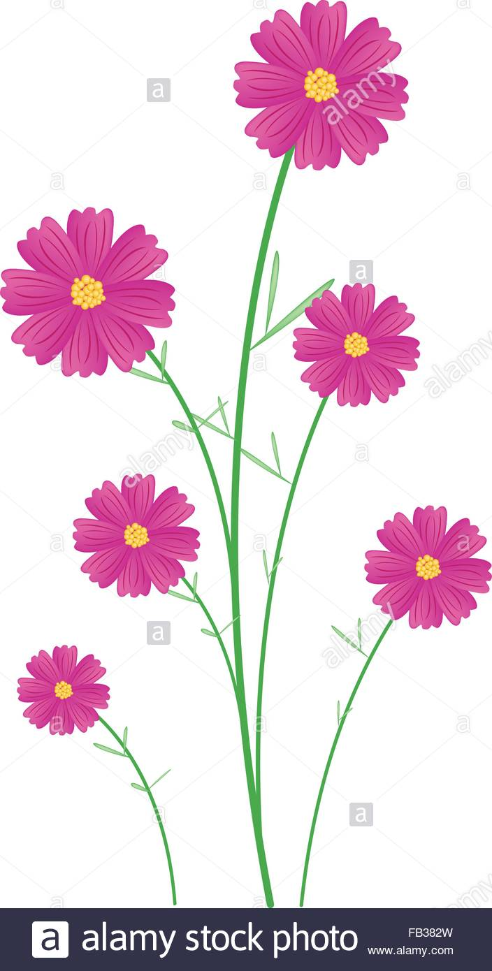 Symbol Of Love, Illustration Of Bright And Beautiful Pink Cosmos.