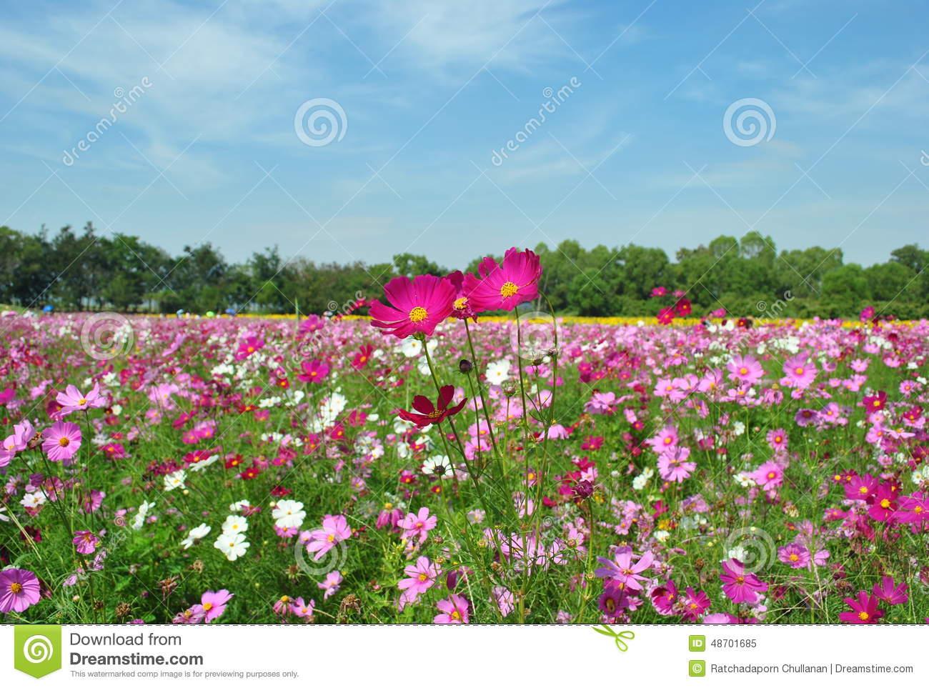 Landscape Of Pink Cosmos Garden Stock Photo.