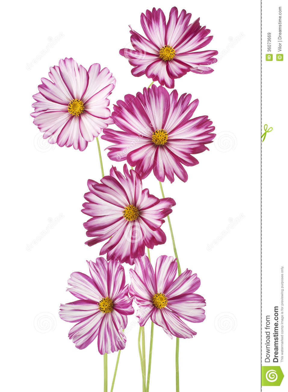 Cosmos Royalty Free Stock Images.