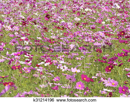 Stock Images of Cosmos field k31214196.