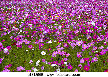 Stock Photography of Infinite cosmos flower field (focus on.