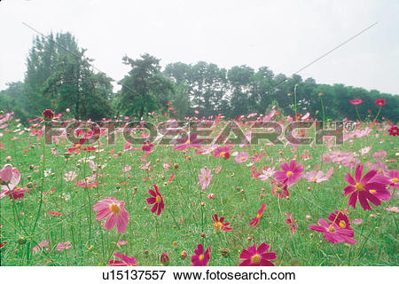 Picture of cosmos flower, autumn, natural world, scenery, field.