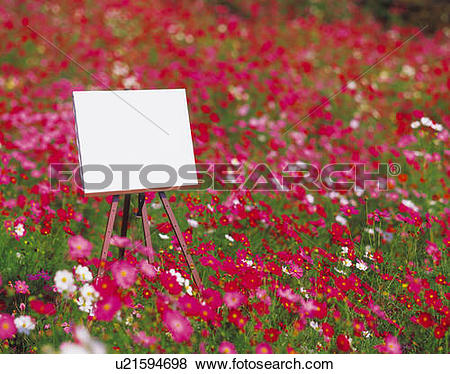 Pictures of Blank canvas on easel in field of cosmos u21594698.