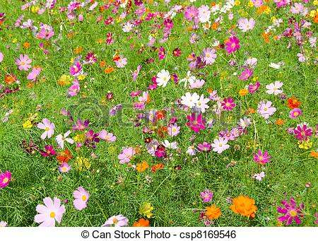 Stock Image of A field of cosmos flowers, Cosmos bipinnatus, in.