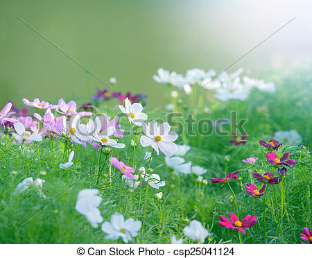 Stock Photo of close up white cosmos flowers field in the park.