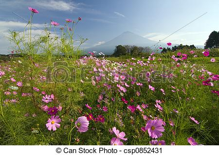 Stock Photography of Field of Cosmos V.