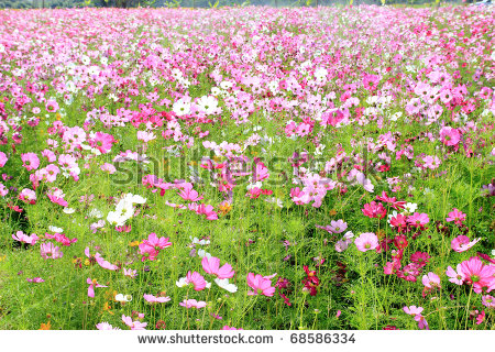 Cosmos field clipart #4