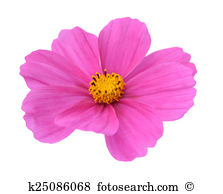 Cosmos flower Illustrations and Clip Art. 551 cosmos flower.