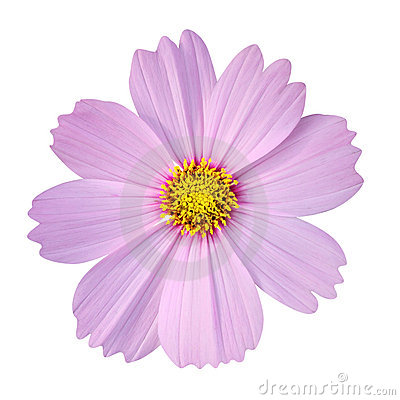 Cosmos Flower Stock Photo.