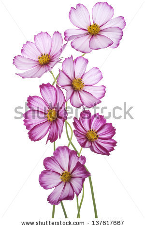 Cosmos Flower Stock Photos, Royalty.