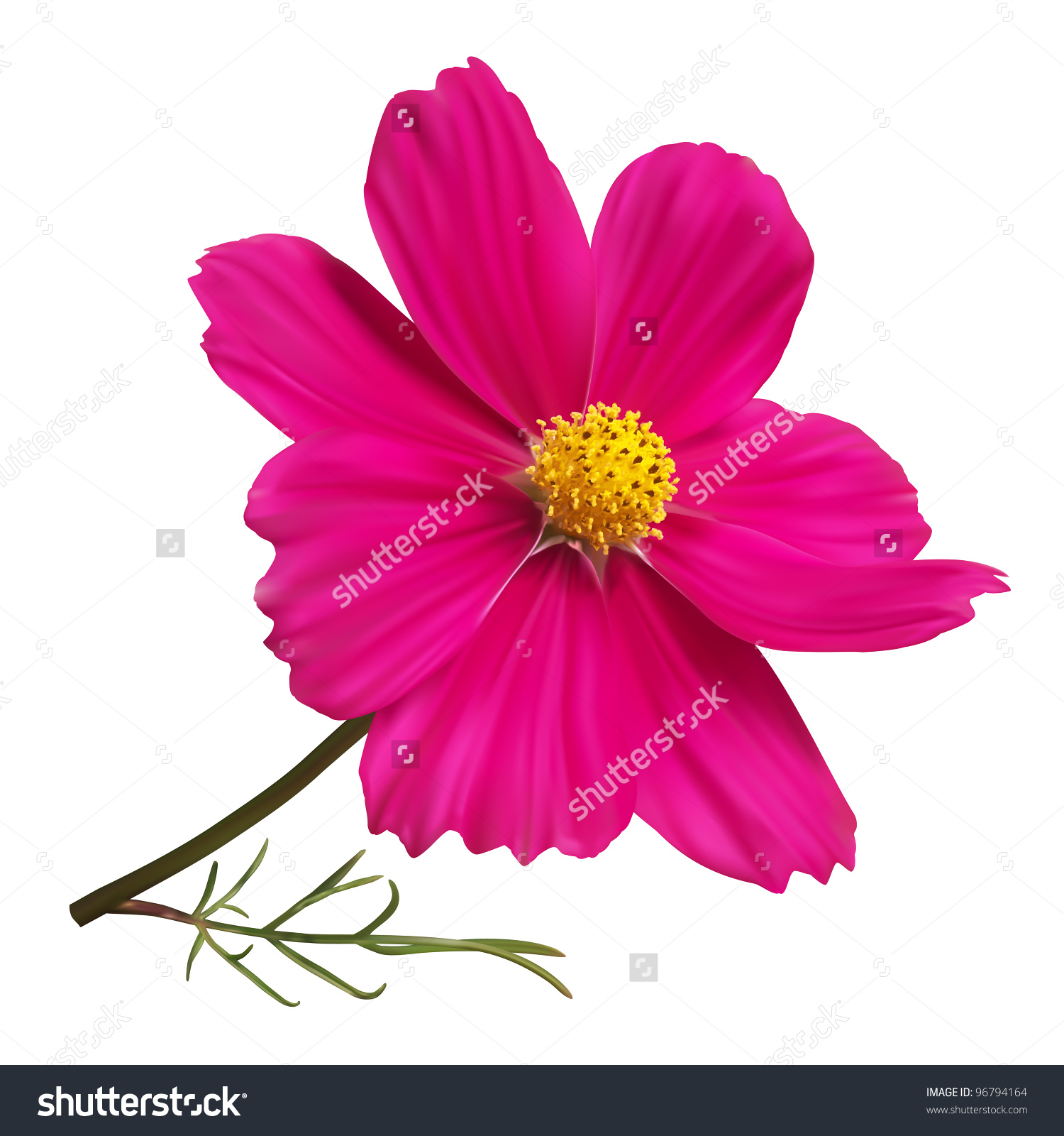 Pink Cosmos Flower Stock Vector 96794164.