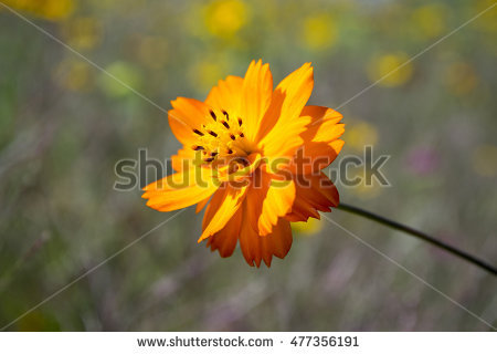 Sulfur Cosmos Stock Photos, Royalty.