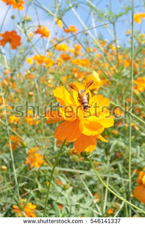 Cosmos Sulphureus Stock Photos, Royalty.
