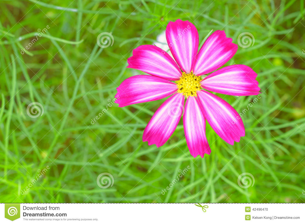 Cosmos Sulphureus Stock Photo.