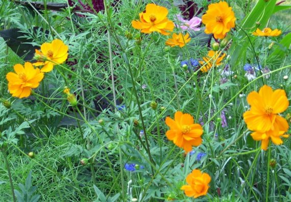 Orange Cosmos Bright Lights Cosmos Sulphureus by greenthing.