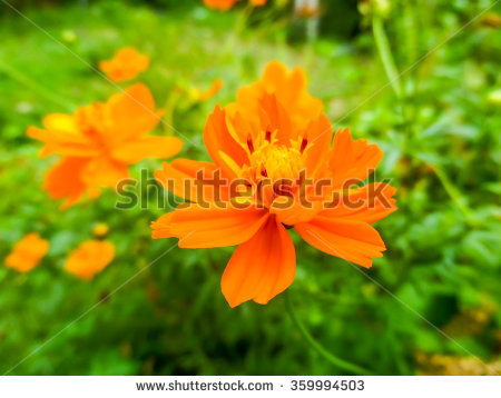 Cosmos Sulphureus Cav. Stock Photos, Royalty.