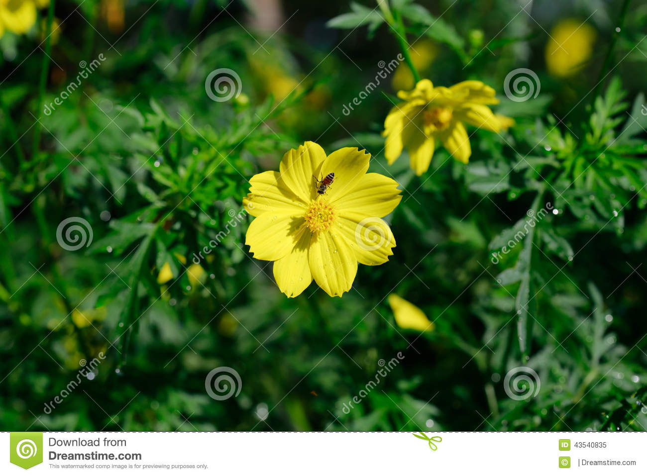 Yellow Cosmos Flower Is Also Known As Cosmos Sulphureus Or Sulfur.