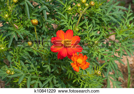 Stock Photograph of Cosmos, Tickseed flower.