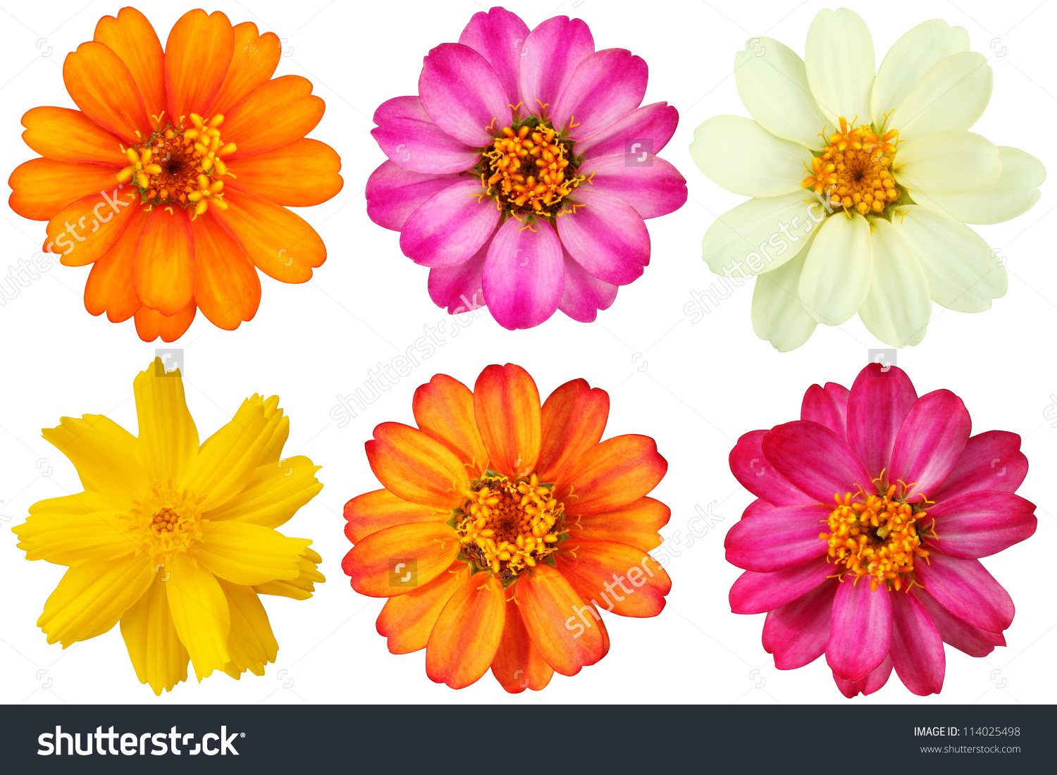 Collection Of Flowers On A White Background.(Zinnia Elegans.