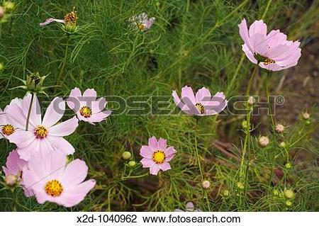 Stock Photo of Pink Cosmos wild flowers at the roadside in Kwazulu.