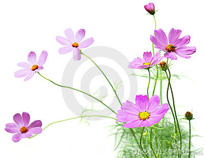 Cosmos Flower Field Stock Photos, Images, & Pictures.