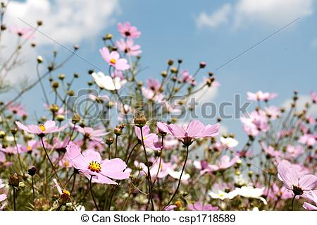 Stock Photographs of Field of wild cosmos flowers.