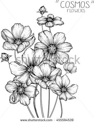 Cosmos Flowers Drawings Vector Stock Vector 421970998.