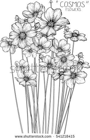 Drawing Flowers poppy Cosmos Cherry Blossom Lotus Stock Vector.