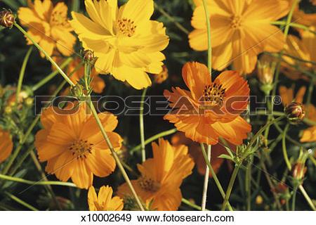 Stock Photograph of Yellow cosmos wild flower, Cosmos sulphreus.