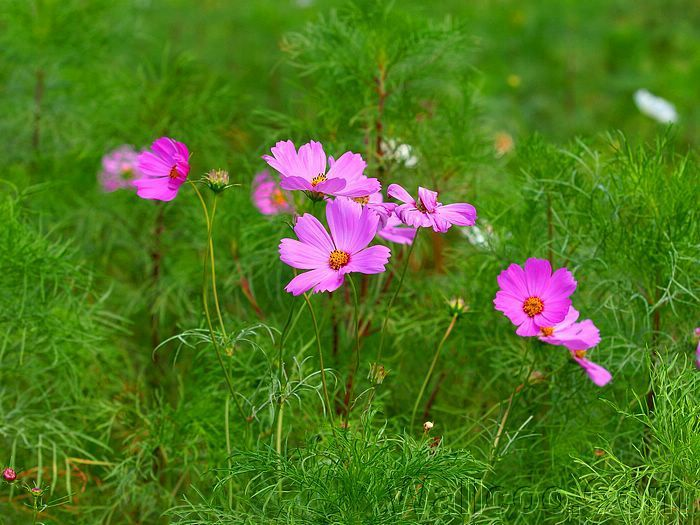 1000+ ideas about Cosmos Flower Pictures on Pinterest.