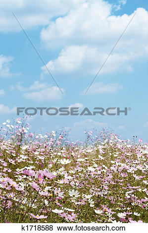 Pictures of Field of wild cosmos flowers k1718588.