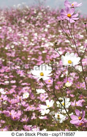 Picture of Field of wild cosmos flowers.