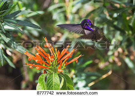 Stock Photo of Costa's Hummingbird (calypte costae), Sonoran.
