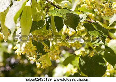 """Stock Photograph of """"Flowers of the Small."""