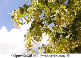 Tilia cordata Stock Photos and Images. 109 tilia cordata pictures.