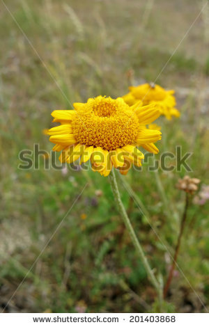 Anthemis Yellow Flowers Tinctoria Stock Photos, Royalty.